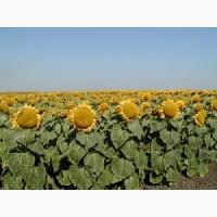 Распродажа урожая 2017 года! Продам семена подсолнечника гибрида Euralis Аламо