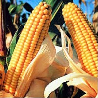 Семена кукурузы Галатея, Аджамка, Хотин, Моника Даниил и другие