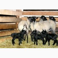 Романовские овцы