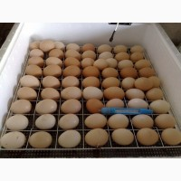 Продам Инкубационные яйца Ross308, Росс 308