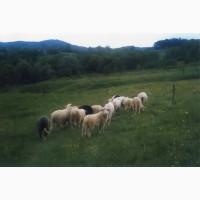 Вівці карпатської породи