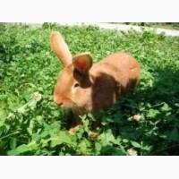 Кролики Кролі породи Бургундець Кроленята