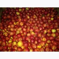Продам яблоки, сорт ГАЛА МАСТ, урожая 2018 года