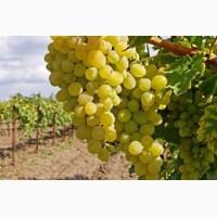 Продам виноград столовый оптом с поля