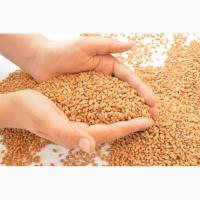 Продам продовольчу пшеницю Волинська обл