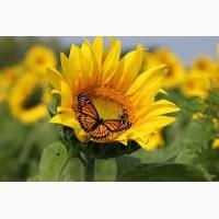 Пропонуємо купити насіння соняшнику Monarch (NS Serbia)