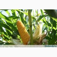 Семена кукурузи ТАР 349 МВ ФАО 290 (Селекта Сидс)