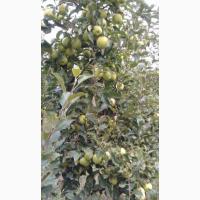 Продам яблука та саджанці