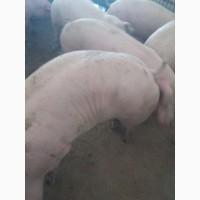 СГ ПП «Лидер Бекон»Продаёт каждую неделю 500 голов свиней
