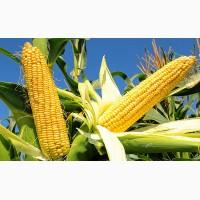 Закупляєм кукурудзу подрібнену(крупку), відходи кукурудзи
