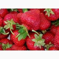 Продам молоді, здорові саджанці пізніх сортів полуниці