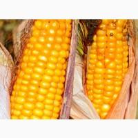 Кукурудза яніс (фао 270) / семена кукурузы по низкой цене