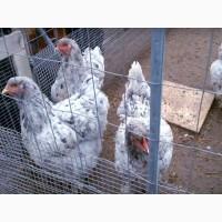 Инкубационное яйцо кур брама голубая, синий всплеск, цыплята по договоренности
