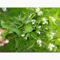 Куплю траву яснотки (глухої кропиви)