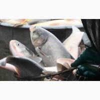 Продам товарную рыбу толстолоб от 1.5кг- 6кг