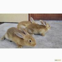 Мясные кролики породы Бургундец