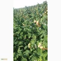 Продам саженцы(кусты) малины Утренняя Роса(порана роса)