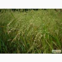 Ячмень Мастер Зернограда, посевные семена