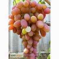 Продам саженцы винограда элитных сортов