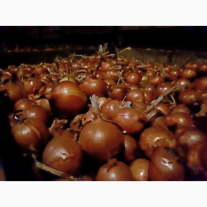 Фото 3. Лук репчатый урожая 2017 г./ Onion crop 2017