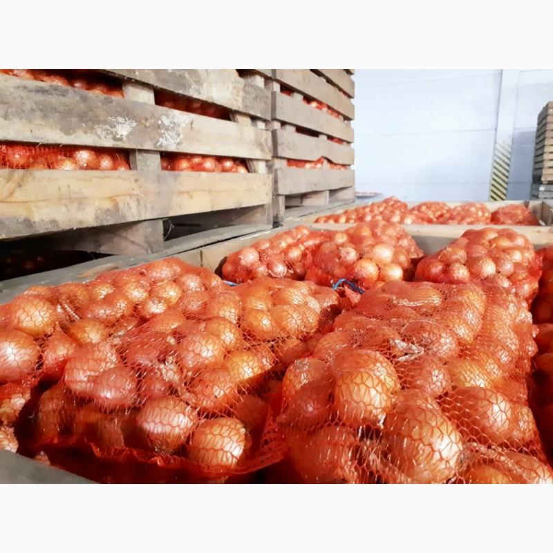 Фото 2. Лук репчатый урожая 2018 г./ Onion crop 2018