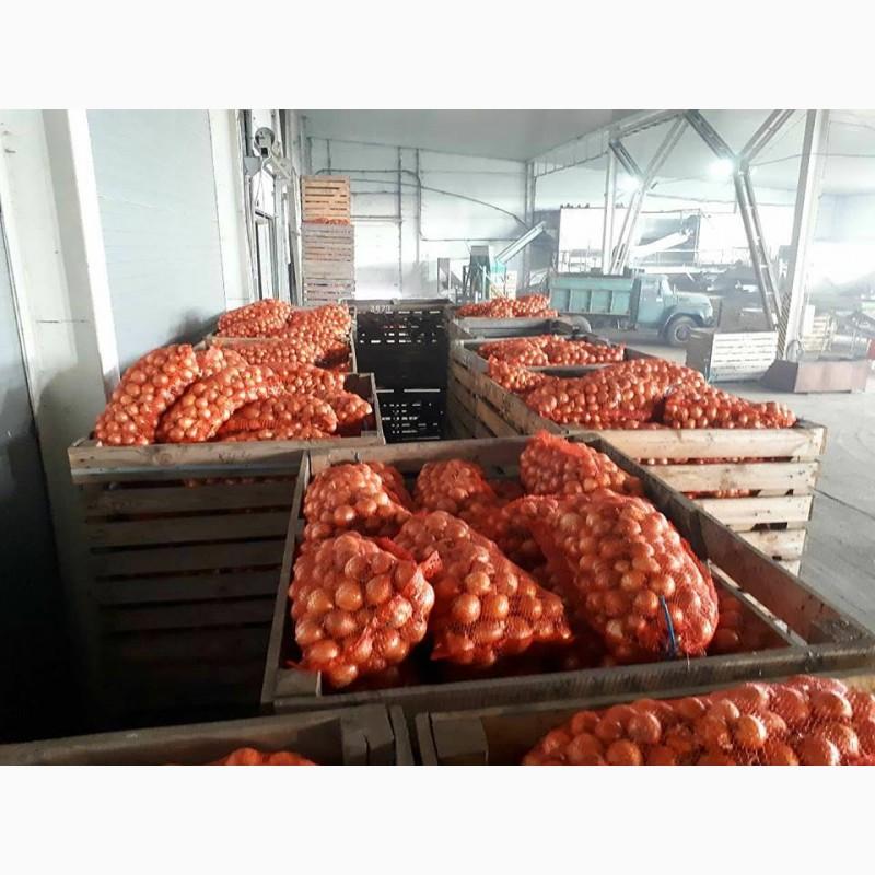 Фото 5. Лук репчатый урожая 2018 г./ Onion crop 2018