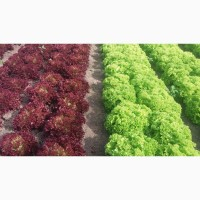 Продам салат красный тип Лола Росса, сорт Кармези