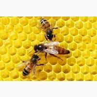 Пчелопакеты, пчеломатки. Бджолопакети, бджоломатки