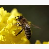 Продам пчеломаки Карпатка высокопродуктивные 2020г. Отправка каждый день ...