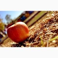 Продам яблука урожай 2018 року