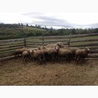 Продаю баранів породи прекос