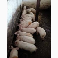 Продам мясных поросят (Ландрас и Белая украинская)