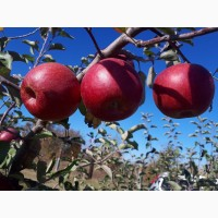 Яблука зі складу у хмельницькому