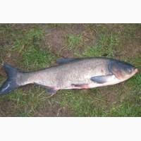 Продам живую рыбу толстолоб оптом