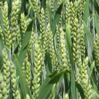 Яровая пшеница Тризо 2Р (мягкая)