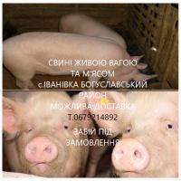 Свинина свині домашні живою вагою та розруби з Доставкою Київська обл. м.Мироніка+50км