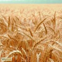 Продам яру пшеницю