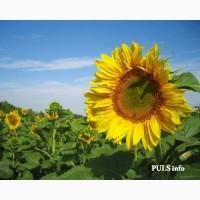Насіння соняшнику САНТОС (A-G+) НОВИЙ