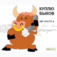 Покупаю быков весом от 150 кг до 500 кг, все регионы! Дорого! Оптом от 20 голов