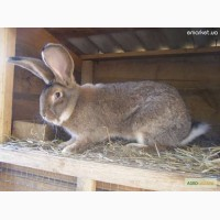 Продам кроликов породы бельгийский фландр