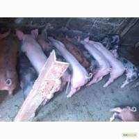 Продам трехпородных поросят мясного направления