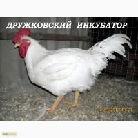 Цыплята бройлера КОББ-500 суточные и подрощенные
