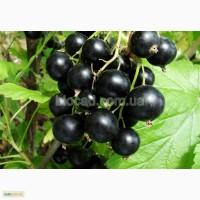 Продам саженцы черноплодной смородины