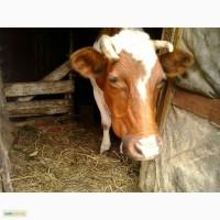 Срочно продам корову
