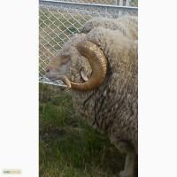 Купим шерсть овечья немытая