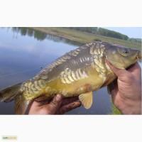 Продажа живой рыбы оптом: карп, щука, толстолоб, карась
