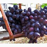 Привитые саженцы винограда Хаджи Мурат