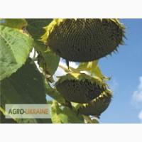 Продам семена подсолнечника Рими-2 (под евролайтинг), на складе в Харькове