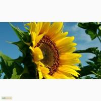 Закуповуємо соняшник
