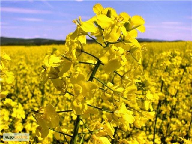качество семян рапса